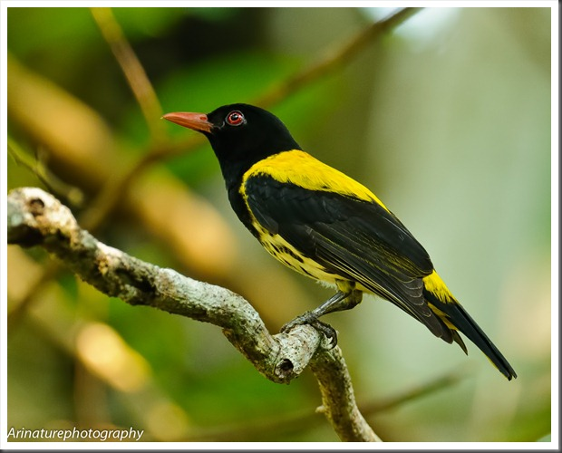 Dark-Throated Oriole1