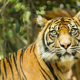 Hypnotising eyes by Cheryl Waring - Animals Lions, Tigers & Big Cats (  )