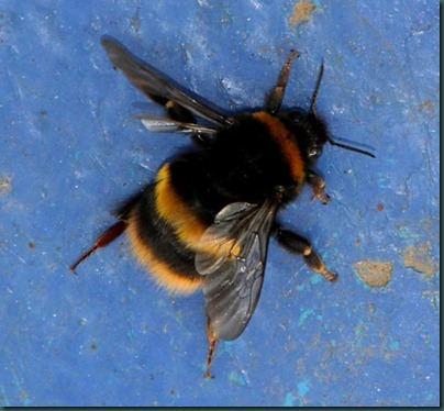 12 queen buff tail bumblebee