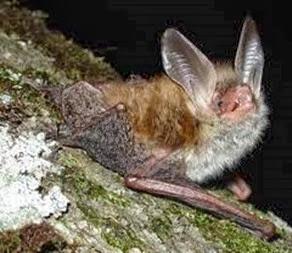 Amazing Pictures of Animals, Photo, Nature, Incredibel, Funny, Zoo, Common pipistrelle, Mammals, Alex (11)