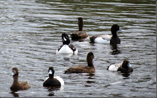 Lesser Scaup and a Barrow's Goldeneye