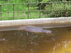 2009.05.22-019 hippopotame