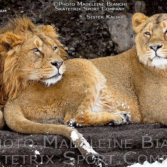 INDIAN LIONS ENJOY WINTER