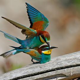 Bee-eater Mating by Goran Šafarek - Animals Birds ( nature, croatia, wildlife, the mura river, bee-eater, unesco, river, the drava river )