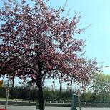 sakura in Toronto, Ontario, Canada