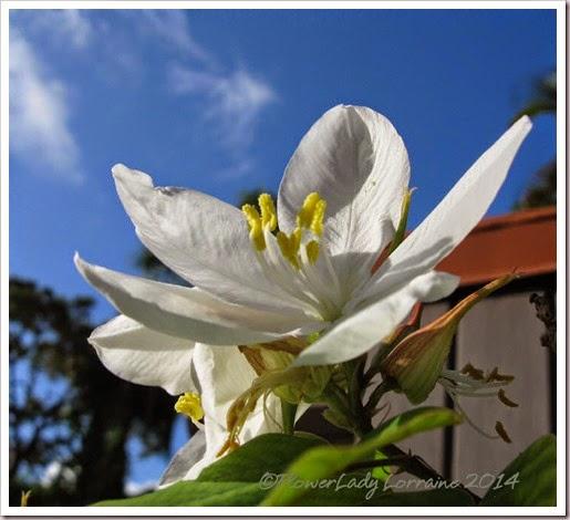 05-14-dwarf-wh-orchid2