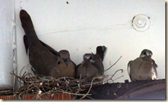 White-winged family in carport 5-15-2012 5-16-01 PM 2572x1543