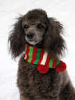 Maddie, Sherry's 2 year old rescued miniature poodle