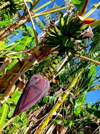 Bananna Blossom