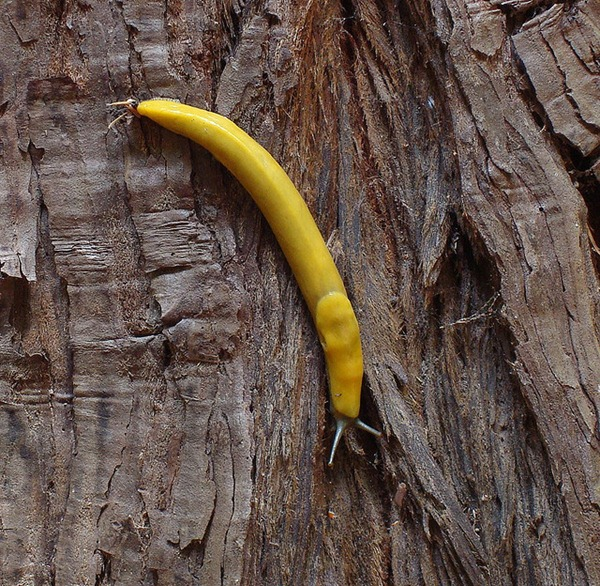 banana slug Ariolimax columbianus 18