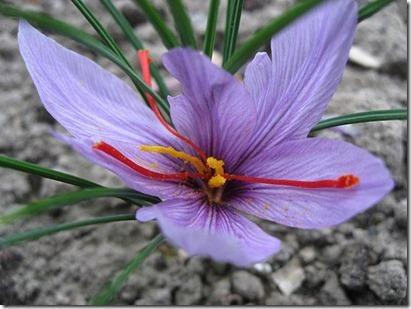 Crocus sativus 1_thumb[1]