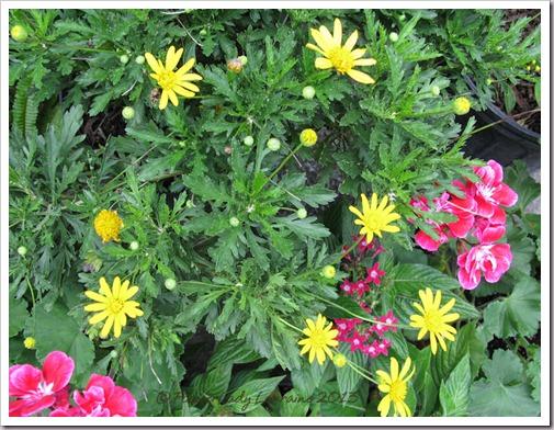 03-11-b-day-bush-daisy