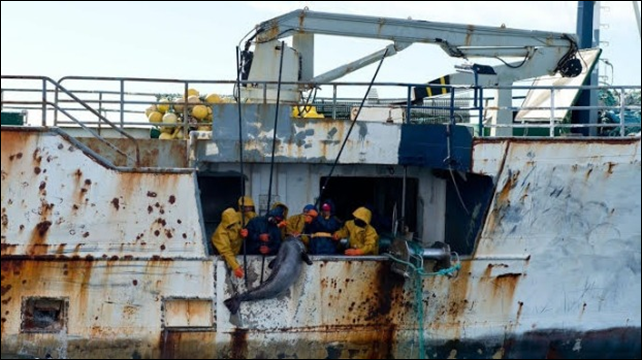 Poachers on the illegal fishing vessel Kunlun use gaffs to drag aboard a large Southern Ocean toothfish. The New Zealand Navy failed in its attempt to board the notorious toothfish poaching vessels, the Yongding and the Songhua, on 14 January 2015. Photo: New Zealand Defence Force