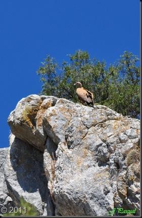 Buitre leonado (18)