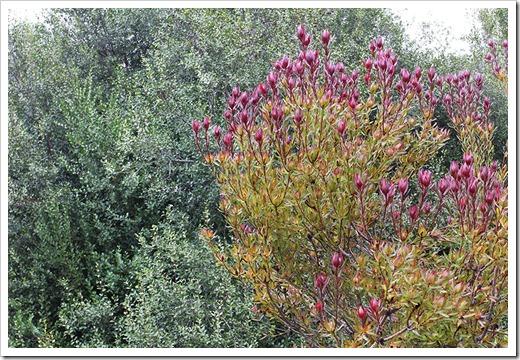 111015_Santa-Cruz_UCSCA_Leucadendron-salignum_11