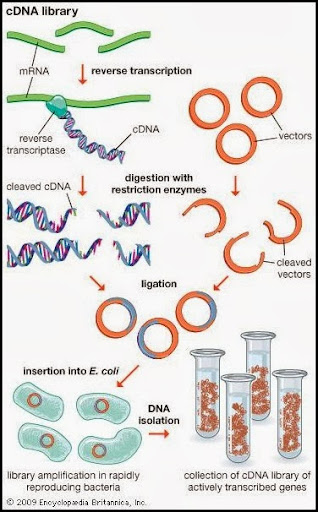 Difference between Genomic and cDNA Library | Major Differences
