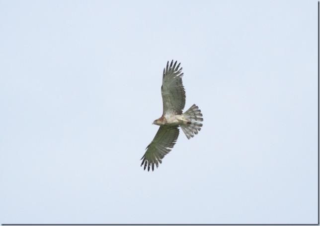 s-t_eagle