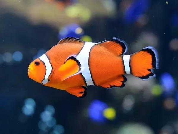 4- Peixe-palhaço