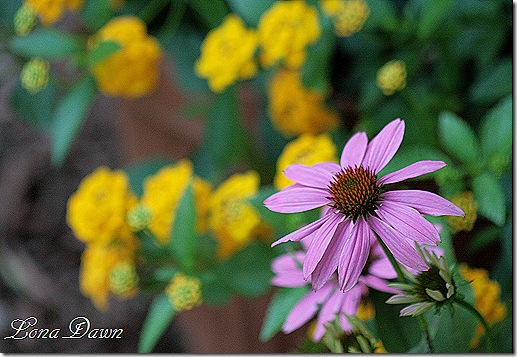 PowWow_WildBerry_Echinacea