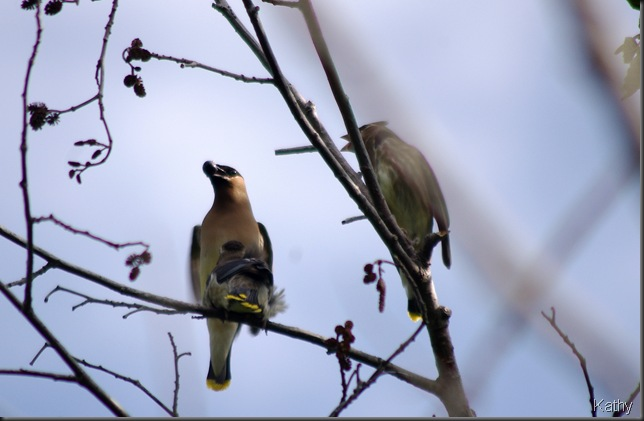 Waxwing family