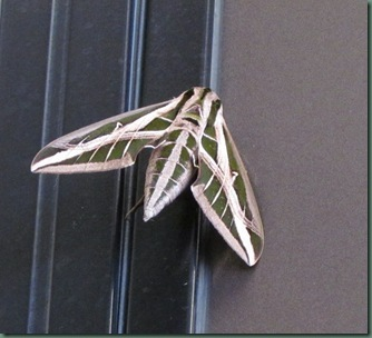 strange looking moth