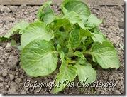 kartoffelplante