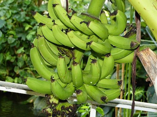 "Бананы ""Карликовый Кавендиш"""