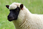 The ewe.jpg