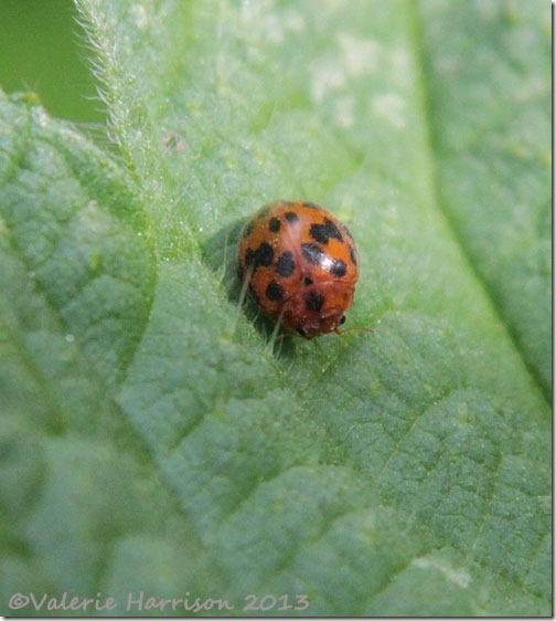 47-24-spot-ladybird
