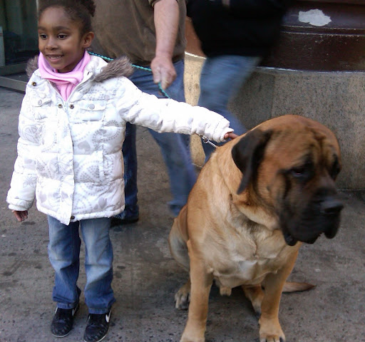 Mastiff in the street