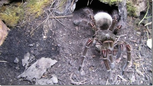 giant-largest-spider-9