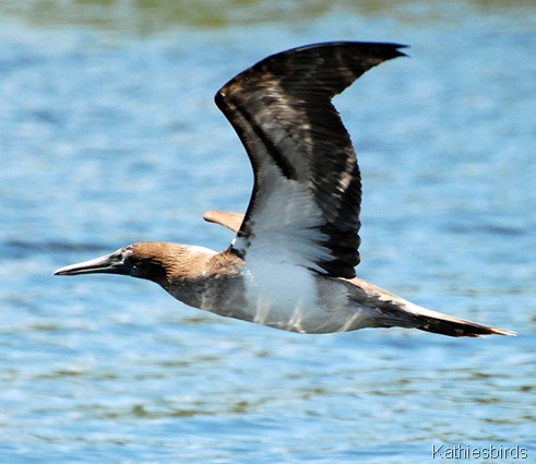 1. Blue footed booby-kab