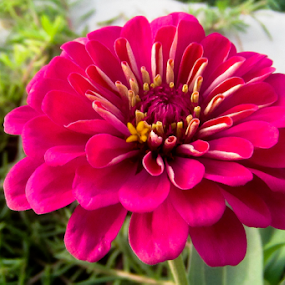 Pink Zinnia by Aamir Soomro - Flowers Single Flower ( zinnia, pink, flower )