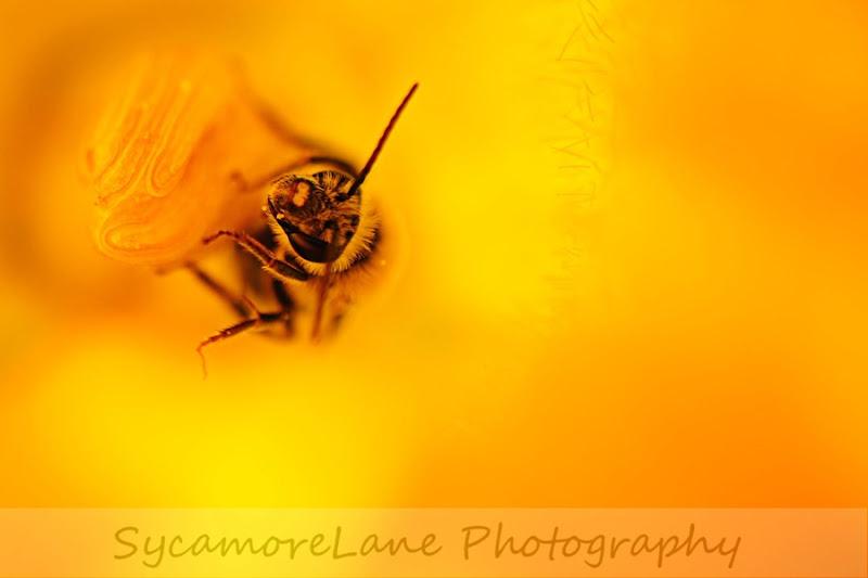 bee-pumpkin flower-2-wm