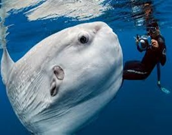Amazing Pictures of Animals, photo, Nature, exotic, funny, incredibel, Zoo, ocean sunfish, Mola mola, or common mola, Alex (10)