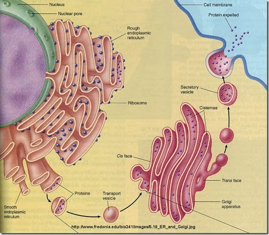 Golgi-Apparatus-and-ER