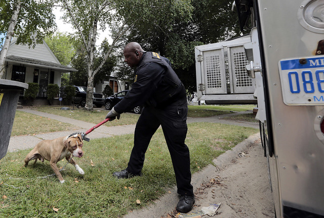 City of Detroit Animal Control officer Malachi Jackson with a pit bull that was captured to be quarantined after biting someone in Detroit on 19 August 2013. As many as 50,000 stray dogs roam the streets and vacant homes of bankrupt Detroit. Photo: Jeff Kowalsky / Bloomberg