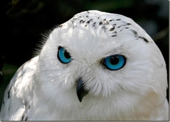 whiteowl1_420x315
