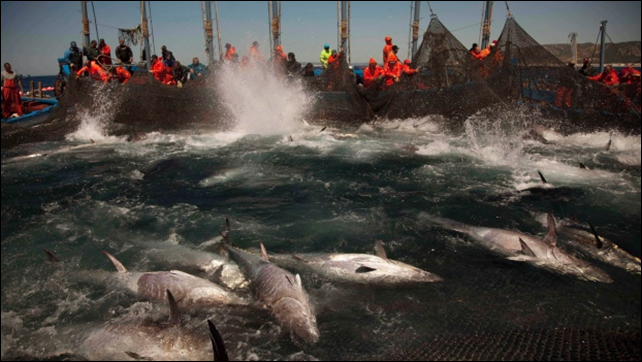 Atlantic bluefin tuna are corralled by fishing nets off the coast of Barbate, Cadiz province, southern Spain. Two studies by environmental groups say overfishing of the Atlantic continues, in part because quotas are too high. Photo: Emilio Morenatti / Associated Press