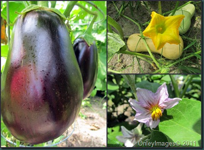 eggplant-squash0818