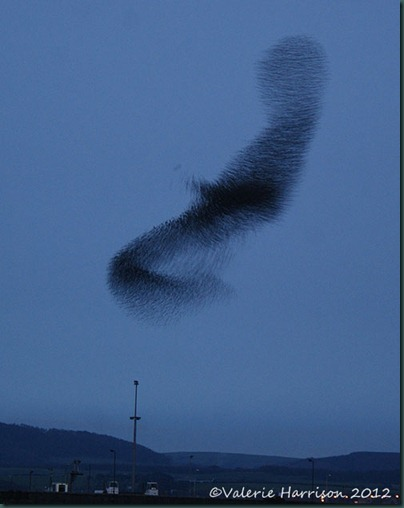 starlings-5