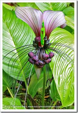 140726_HawaiiTropicalBotanicalGarden_Tacca-integrifolia_0003
