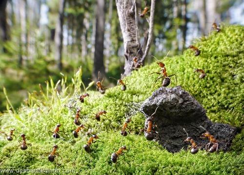 formigas inacreditaveis incriveis desbaratinando  (22)