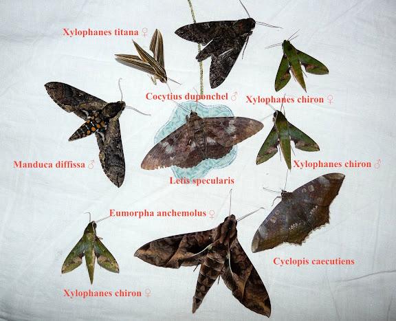 Erebinae : Cyclopis caecutiens HÜBNER, (1821) ; Letis specularis HÜBNER, (1821). Sphingidae : Sphinginae : Cocytius duponchel POEY, 1832 ; Manduca diffissa tropicalis ROTSCHILD & JORDAN, 1903. Macroglossinae : Eumorpha anchemolus CRAMER, 1780 ; Xylophanes chiron nechus CRAMER, 1777 ; Xylophanes titana DRUCE, 1878. Coroico (alt. 1800 m). Bolivie, 6 février 2008. Photo : J. F. Christensen