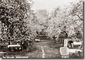 Orchard 1910