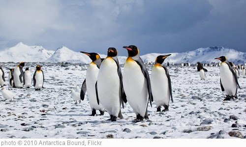 'penguin group small' photo (c) 2010, Antarctica Bound - license: https://creativecommons.org/licenses/by-nd/2.0/