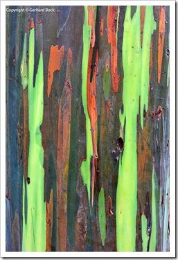 130715_KulaBotanicalGarden_Eucalyptus-deglupta_002