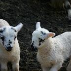 Schafe - Lämmer 7 Tage alt (2009)