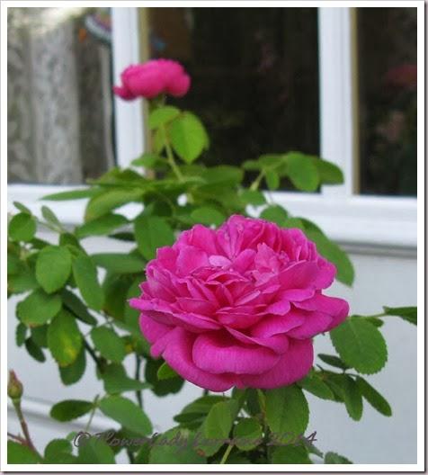 02-19-rose-de--rescht-2