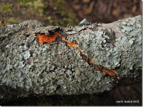Pycnoporus cinnabarinus crack in lichen